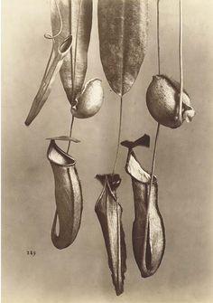 Alphonse Bernoud, Plant studies, 1870