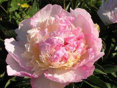 Syringa Vulgaris, Peonies Garden, Planting Flowers, Raspberry, Wedding Dresses, Plants, Sunday, Beauty, Pictures
