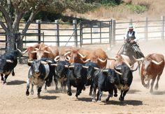 """Espectáculo de toros y caballos """"A Campo Abierto"""" #toro #bull #caballos #horses"""