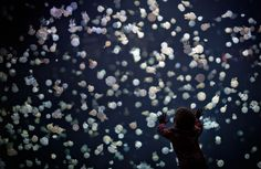 A child watches jellyfish swim in a large tank at the Vancouver Aquarium in Vancouver, British Columbia.
