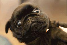 Winking Pug