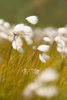 Wind in cotton grass Illustration Manga, Blowin' In The Wind, Field Of Dreams, Windy Day, Felder, Belleza Natural, Bokeh, Mother Nature, Wild Flowers