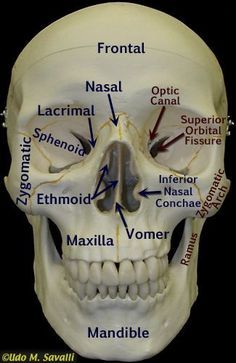 Front of skull labeled anatomy Anatomy Bones, Skull Anatomy, Brain Anatomy, Human Body Anatomy, Face Anatomy, Dental Anatomy, Medical Anatomy, Basic Anatomy And Physiology, Radiology Student