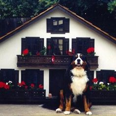 10 Luxurious Dog Houses for your Pampered Pet: This St. Bernard's Swiss Chalet is larger than life, just like him. #bold