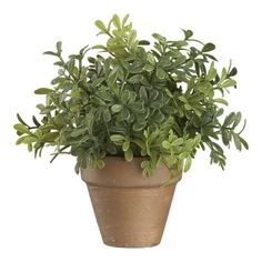 Mini Potted Boxwood - Crate and Barrel