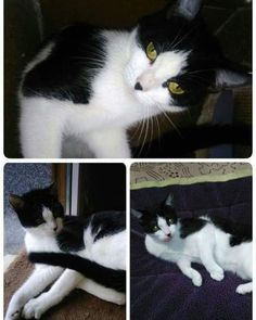 URGENTE!!!!  Paris necesita una familia.  Es una gatita de año y medio un poco timida pero muy buena... #adoptar #mascotas #adopcion #perros #gatos