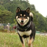 Black Shiba dog.... IF i ever get another dog.... <3