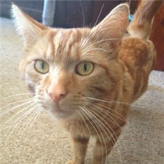 Three Year Old Ginger Lad Sammy Is Looking For A Home To Call His