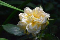Aamun ruusut  Comtessa