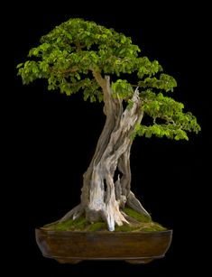 http://www.artofbonsai.org/art-of-bonsai-awards Quiebracho