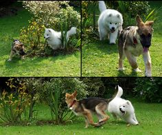 Samoyed Puppy and German Shepherd Puppy;; this will be my family in a few years.
