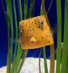 Who knew fish could so gosh darn cute? This Yellow Boxfish lives at the Adventure Aquarium. Underwater Creatures, Underwater Life, Ocean Creatures, Beautiful Sea Creatures, Animals Beautiful, Salt Water Fish, Water Animals, Marine Fish, Beautiful Fish