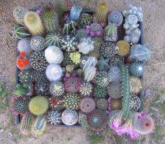 cactus - cacti in bloom