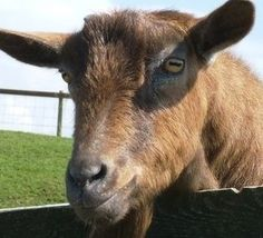 Spiders and Goats?  True Science Fiction: Turning Goat Milk Into Spider Silk