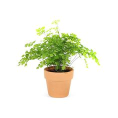 "4"" Maidenhair Fern in Pot, Live ($15) ❤ liked on Polyvore featuring home, home decor, green home decor and green pot"