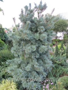 Pinus parviflora Blauer Engel. Ежегодный прирост примерно 20 см в высоту и ок 8 см в ширину. Иглы длинные, серебристо-голубые. Малые требования к почве. Светолюбивое.