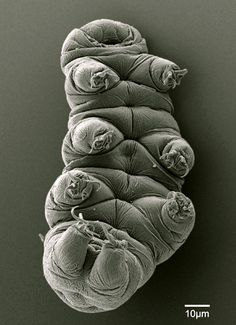 """Tardigrades are microscopic animals that live in moss and the muddy sand on beaches. They can survive high temperatures, freezing, and crushing pressures by drying themselves up into a little hard ball, called a tun. Stick a tun in water and [...] it will rehydrate and regenerate back into a tardigrade. [...] It may well be the most adorable genome on Earth."""