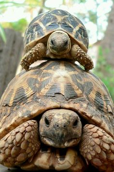 Tortoises and turtles, my favorite reptiles! The Animals, Baby Animals, Funny Animals, Beautiful Creatures, Animals Beautiful, Russian Tortoise, Tortoise Turtle, Baby Tortoise, Cute Tortoise