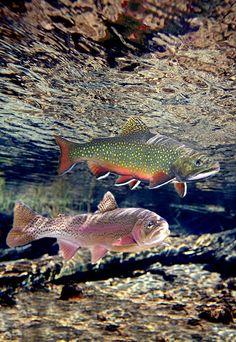 #97 Williamson River Rainbow, Brook Trout, Williamson River, Oregon