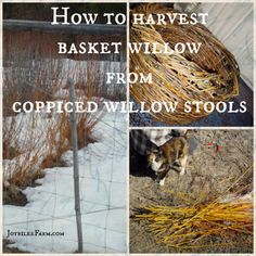 How to harvest basket willows from copppiced willow stools