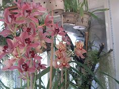 Cymbidium orchids in greenhouse/sunroom