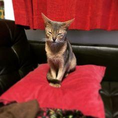 いつも寝てる時間を過ぎると、迎えにくる。眠そうだ😿#cat #cats #catlovers #petlovers #follow4like #Abyssinian cat #Siberian cat #catstagram #instacat #にゃんすた #猫部 #猫 #愛猫 #サイベリアンフォレストキャット #アビシニアン
