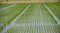 Our $1 billion investment in rice cultivation to boost self-sufficiency, says Dangote   By Femi Adekoya       To aid the realisation of th...