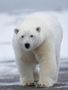 creatures-alive:  Polar Bear Coming Your Way by Pat Roque