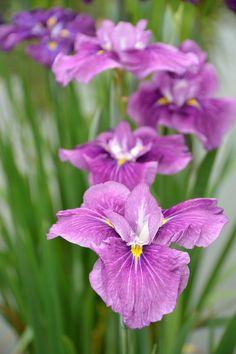 ~~Iris by yamabuki~~