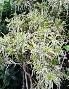 chlorophytum-3530413 Pothos Plant Care, Pothos Vine, Hanging Succulents, Hanging Plants, Indoor Plants, Hindu Rope Plant, Self Watering Pots, Chlorophytum, Flower Pot Design