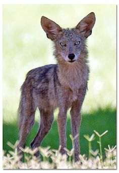 Coyote - How to live with Coyotes - DesertUSA