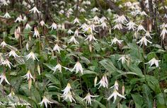 White Fawn Lily: Erythronium Albidum  Aka Dog's tooth-violet, adder's tongue, deer tongue, trout lily.  Flowers Late March into May Foudn Extremem southeast NE, North of MO Valley to Ponca. Likes Moist, deciduous woodlands.  Spreads by stolons and is around 6 inches tall  Very rare! Plant it if you've the means.