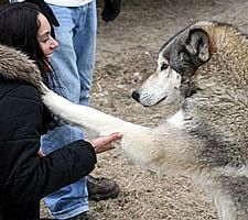 Howling Woods Farm is a breed-specific animal shelter that rescues and places domestic bred wolves, wolfdog hybrids and northern breeds. We also provide education and information to the general public about wolves and wolfdogs