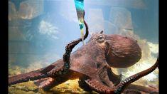 Octopus Tattoos, Octopus Art, Octopus Photography, Wildlife Photography, Plural Of Octopus, Octopus Pictures, Vida Animal, Seattle Aquarium, Giant Pacific Octopus
