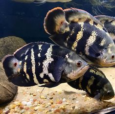 "Aquarismo Consciente on Instagram: ""Astronotus Crassipinnis, o famoso Oscar Bumblebee! 🇧🇷 . . Crédito: @tkl_aquariums Thank you. . . . . . . . 📺 Tem Aquarismo Consciente no…"" Freshwater Aquarium Fish, Oscar, Fresh Water, Photo And Video, Instagram"