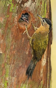 Laced Woodpecker (female) at nest