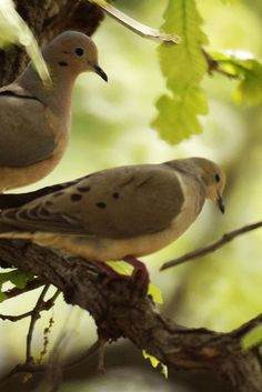 Mourning Doves.    Mourning Doves often match their open-country surroundings. They're delicate brown to buffy-tan overall, with black spots on the wings and black-bordered white tips to the tail feathers.  Year round