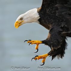eagle talons | Bald Eagle close up with talons
