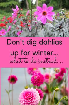 There are almost an unlimited number of diy garden projects enjoyed by people around the world but at the lead of the list consistently is gardening. Growing Dahlias, Dahlia Care, Garden Shrubs, Flower Farm, Flower Garden, Dahlia, Winter Garden, Dahlias Garden, Plants