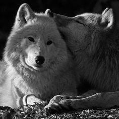 White Wolves <3 this pic !!