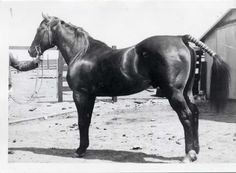 """Known as """"that Tommy Moore horse,"""" Oklahoma Star earned a reputation as a formidable running horse and an influential sire. Oklahoma Star was inducted into the Hall of Fame in 1992. Learn more about the AQHA Hall of Fame inductees at http://aqha.com/Foundation/Museum/Hall-of-Fame/Hall-of-Fame-Inductees.aspx ."""
