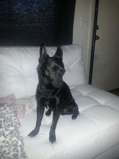 Lost Dog - Chihuahua Short Haired - Phoenix, AZ, United States 85017