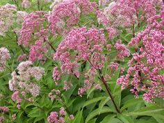 """Joe Pye Weed - A native to the prairie state, this large perennial grows 6-8 feet high and wide. Blooming in late summer with broad, plate like flowers that resemble sedums, in a dusty purple. A dwarf form is available. Make sure you buy a named variety, like """"Gateway"""" in order to get large flowers and a stronger plant. Prefers sun, moist soil, and looks best if cut down to the ground in early spring."""