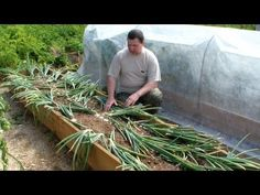 Выращивание лука репки без лишних хлопот - YouTube