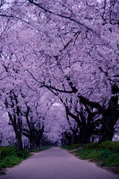 SEASONAL – SPRING – a time for blossoms and colorful flowers to make an appearance, the cycle of renewal and rebirth among nature continues on cherry blossom lane in saitama, japan, photo via myranda. Beautiful World, Beautiful Places, Nature Landscape, Purple Aesthetic, 90s Aesthetic, Aesthetic Videos, All Things Purple, Amazing Nature, Pretty Pictures