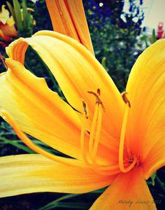 Spider daylily