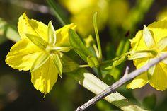 four-flowered yellow loosestrife (Lysimachia quadriflora) - http://www.minnesotaseasons.com/Plants/four-flowered_yellow_loosestrife.html