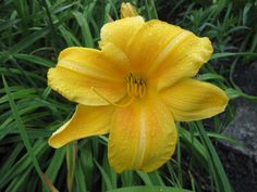 Day Lilly 'Chicago Sunrise'