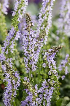 Proven Winners - Color Spires® 'Crystal Blue' - Perennial Salvia - Salvia nemorosa blue cool sky blue plant details, information and resources. Purple Flowers, Salvia, Flowers Perennials, Deer Resistant Plants, Plants, Flower Spike, Perennials, Blue Plants, Perennial Shrubs