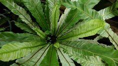 Asplenium nidus 'Variegata'